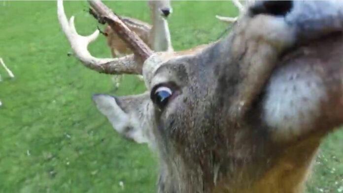 Le streamer Twitch Jinnytty se fait attaquer par un cerf